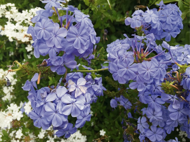 Plumbago Royal Cape.