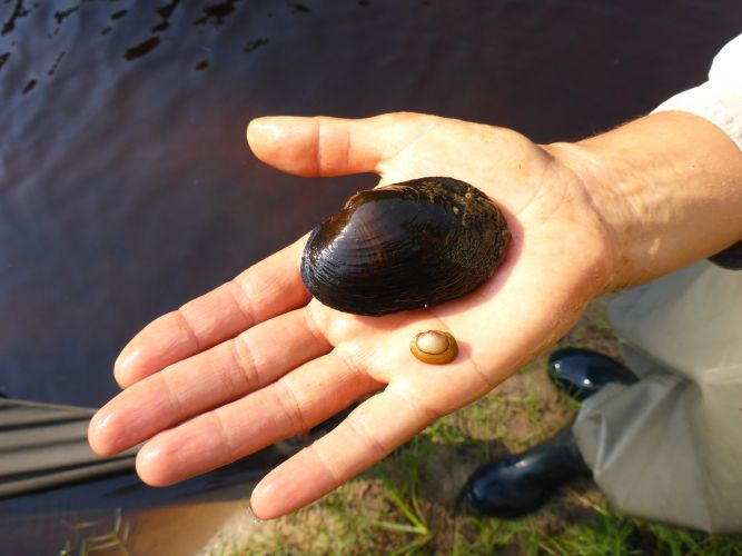 Carter's vulnerable freshwater mussel.