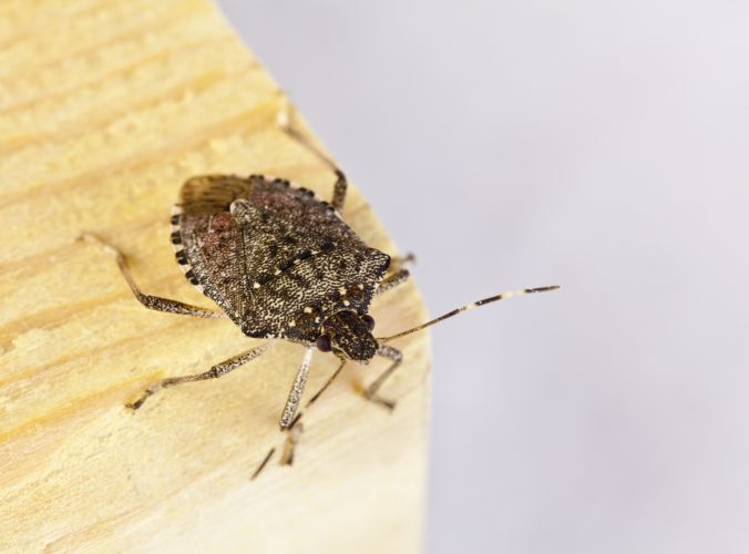 The rown marmorated stink bug is a little over 1cm in length and about as wide. Picture: Stock image