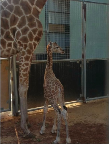 The new giraffe calf with her mother Kitoto at Perth Zoo.