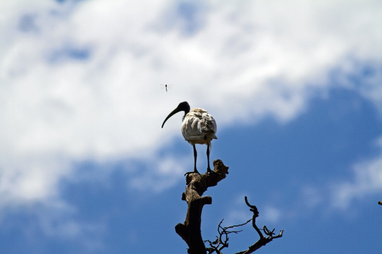 Bye, bye bin chickens: white ibis on Red Hill landfill site to be culled