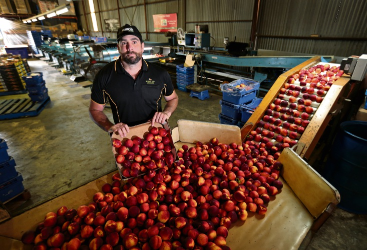 Brett DelSimone of Roleystone, from Spring Hill Orchard. Brett is the spokesperson for the Hills Orchard Improvement Group. Growers of stone fruit are struggling with bumper crop and low prices that aren't covering production costs. Picture: David Baylis d480681