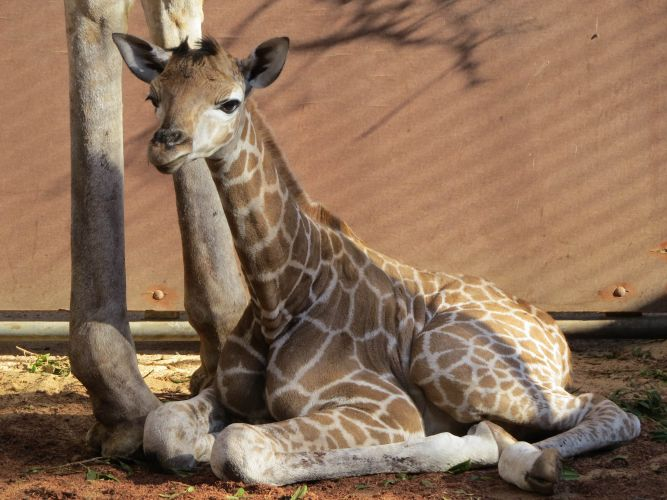 Kamili was born at Perth Zoo on March 7.