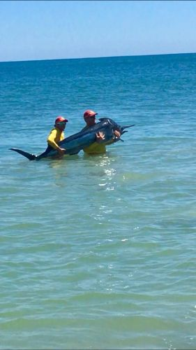 Marlin found at a Mandurah beach yesterday