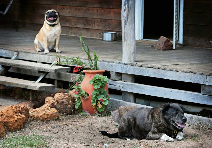 Floyd (a 3 year old Pug cross) and Two Sox (an 11 year old Husky cross). Two Sox and Floyd were acquitted of killing 39 sheep on a property in The Lakes in 2016. Photo: David Baylis