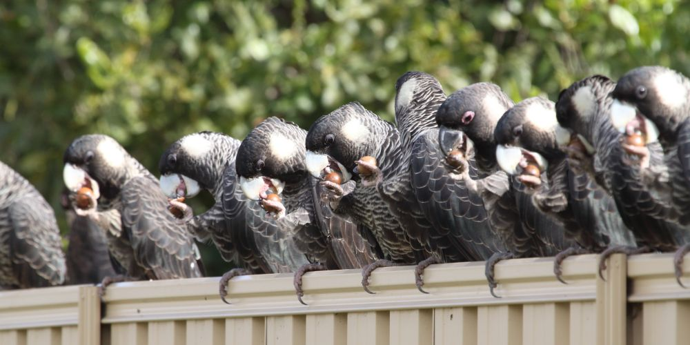 A flock of Carnaby's Black-Cockatoo feasting on macadamia nuts in the suburbs. Picture: City of Cockburn/Christine Groom UWA