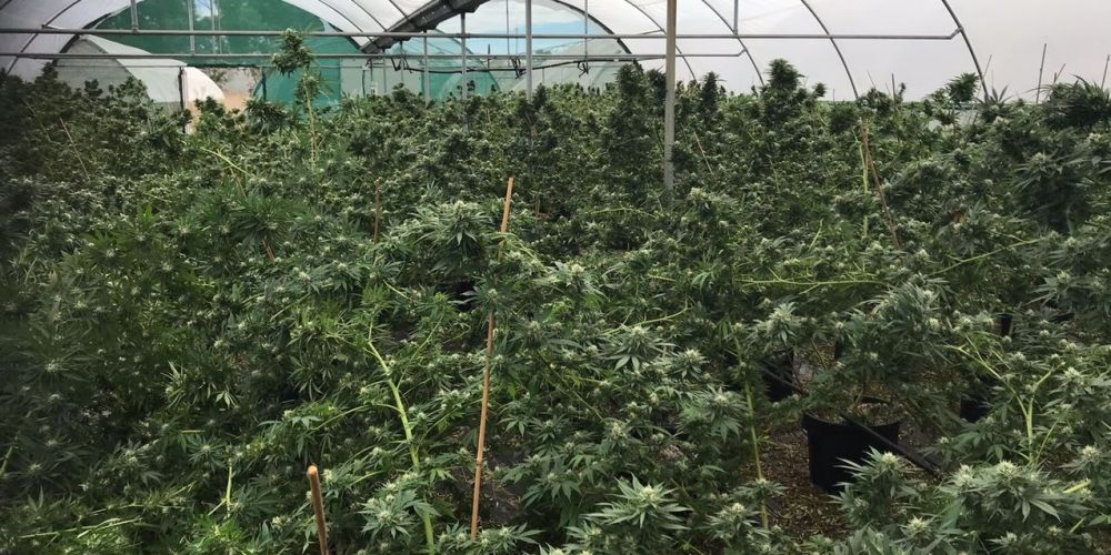 Police charge man after discovering large cannabis crop in Oldbury