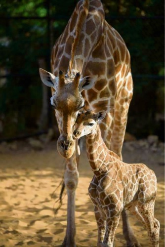 Giraffe Kitoto with her 20-day-old calf. Picture: Alex Asbury
