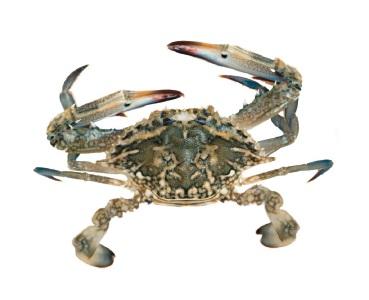 Mandurah: trio fined thousands for undersized blue manna crabs catch