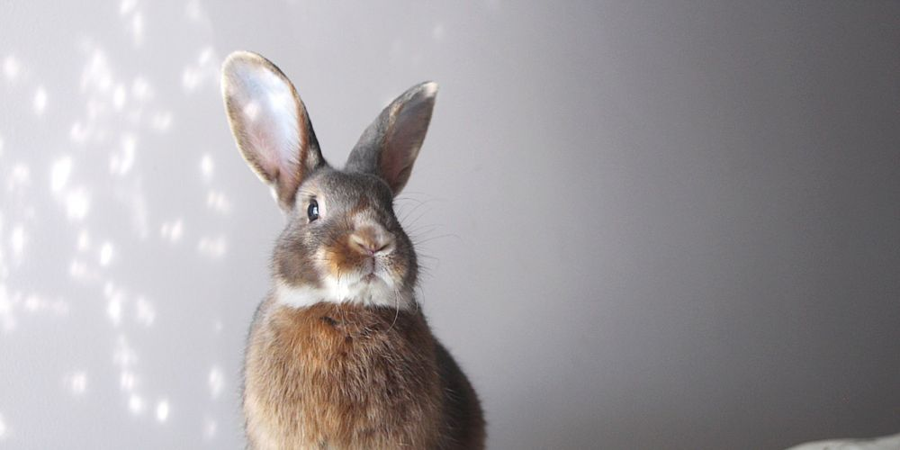 Louie will compete at the Perth Rabbit Extravaganza at Curtin Stadium next month.