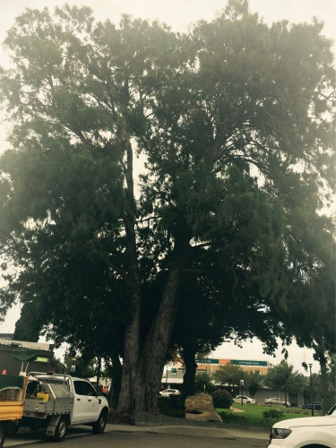 The River Sheoak in George Robinson Gardens will be listed on the Significant Tree Register.