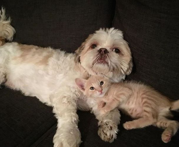 Joondalup: Moon the shih tzu maltese nurses sick and injured