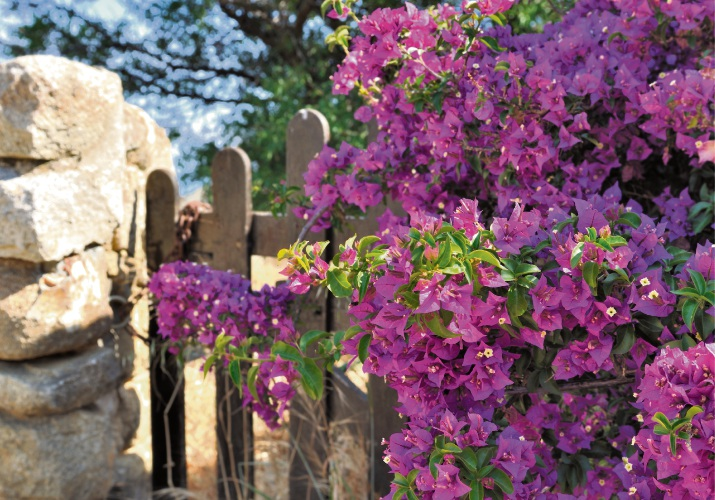 Use bougainvillea to add height along the back fence line.