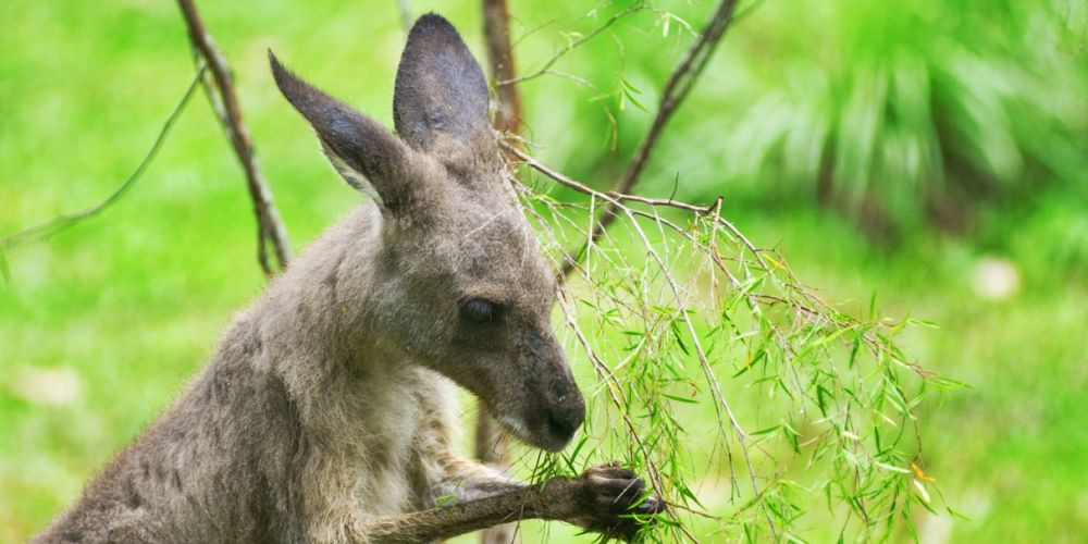 Millbrook Winery cancelled a planned kangaroo cull. Picture: Stock image