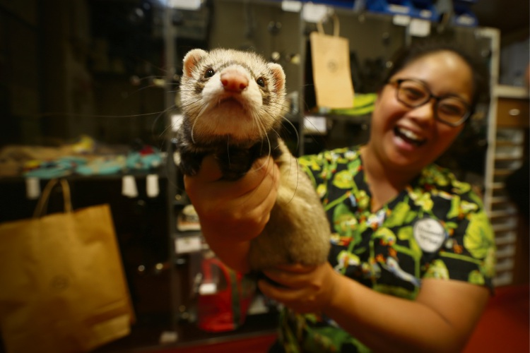 Dr Nicole Su with a ferret at the Unusual Pet Vets at Murdoch University.