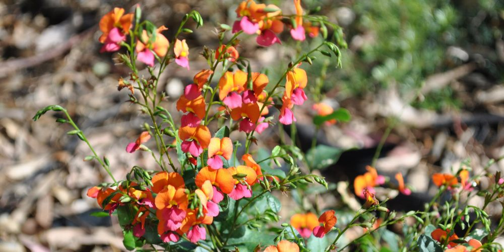 Native plants like the heart-leaf flame pea (Chorizema cordatum) are available at a subsidised rate during May.