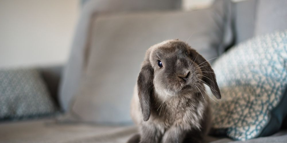 WA Rabbit Council is hosting the Rabbit Extravaganza at Curtin Stadium on May 5 and 6.