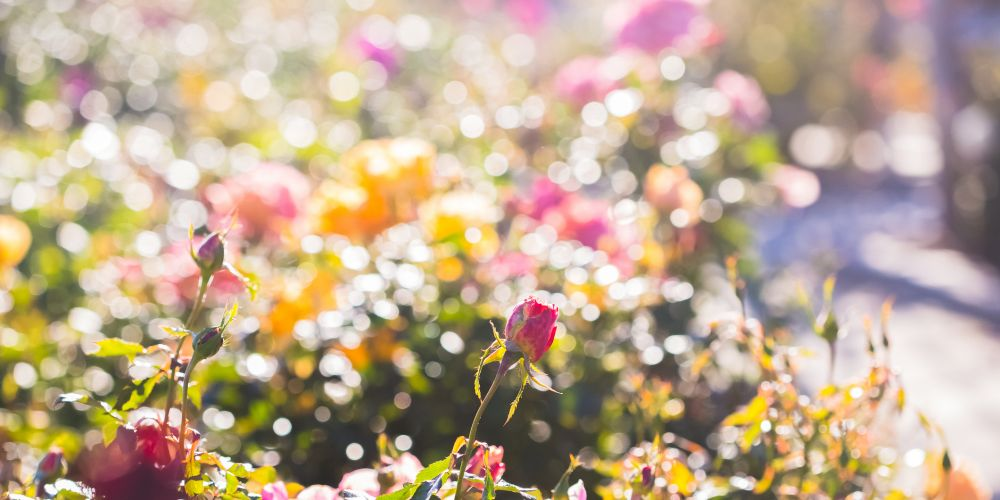 Rose Society of WA will hold its autumn show in Guildford this Mothers' Day weekend.