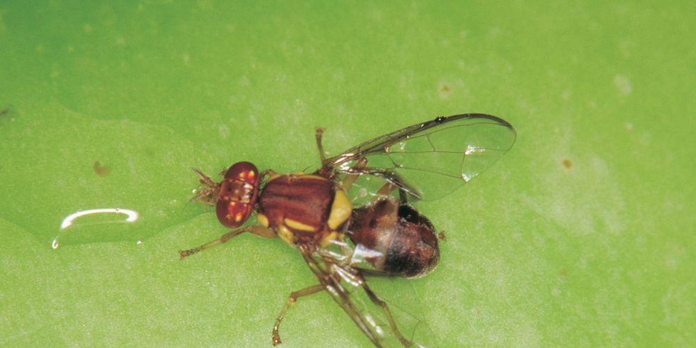 Queensland fruit flies have been detected in Como.