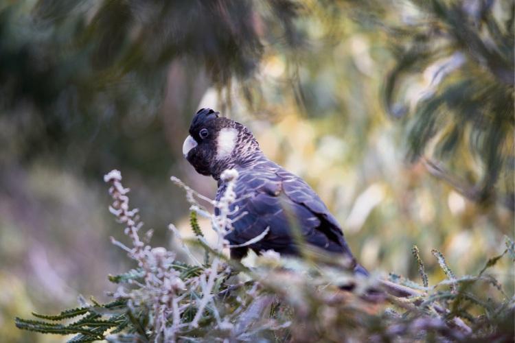 Free Carnaby's black cockatoo workshop at ECU Joondalup