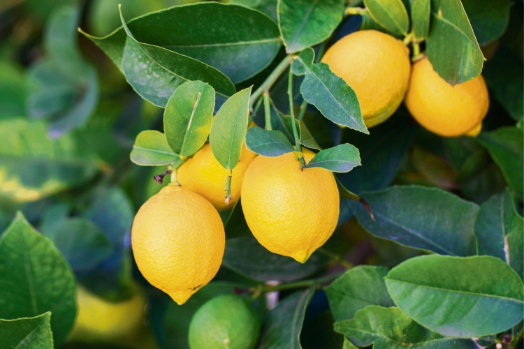 Lemons are the easiest citrus to grow.