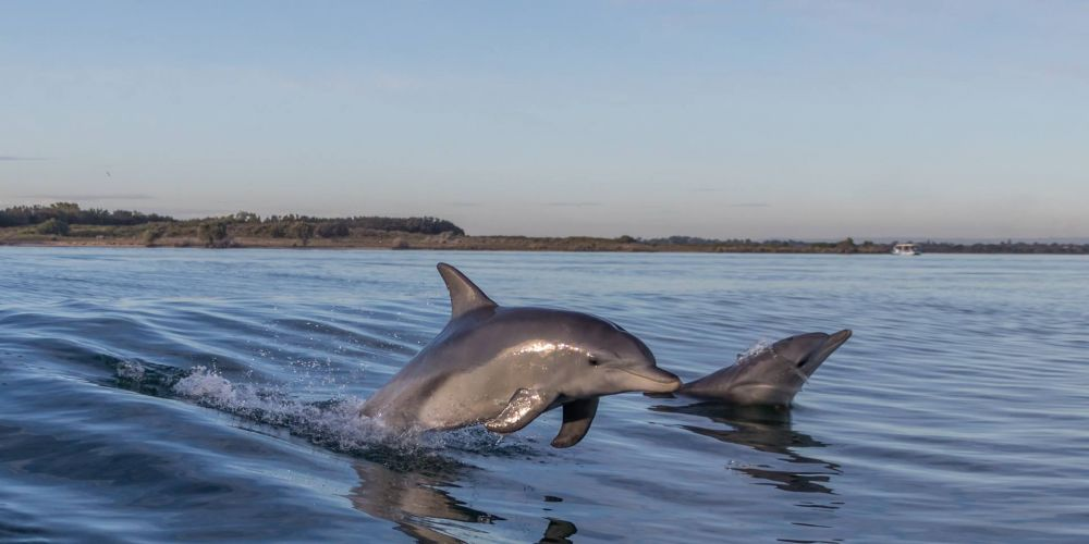 Vicki Olson took these photos of dolphins in the estuary.