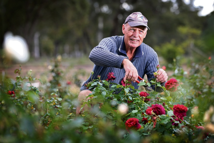 Bob Melville of Carmel, pruning The Dark Lady, a David Austin English rose, which is a modern heritage rose. Photo: David Baylis