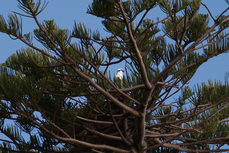 The osprey in the new Cottesloe nest. Picture: Andrew Ritchie.