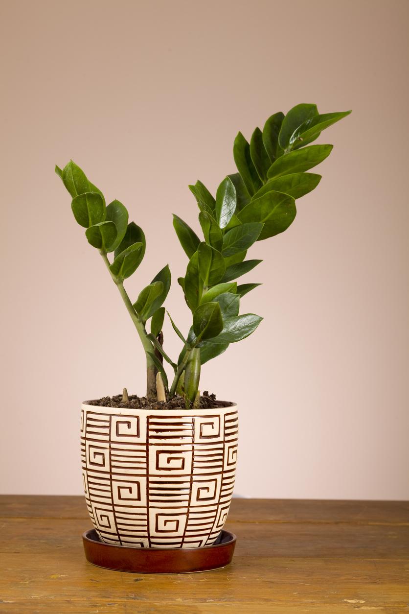 Zz Plant Living Room