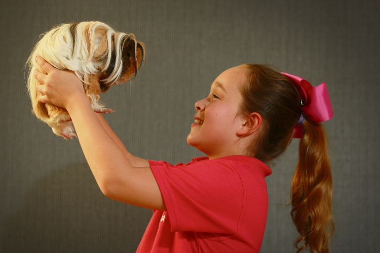 Emily Long (9), with Rockstar, is bringing her favourite cavies to compete in the National Cavy Show in August 2018. Picture: Andrew Ritchie www.communitypix.com.au d484706