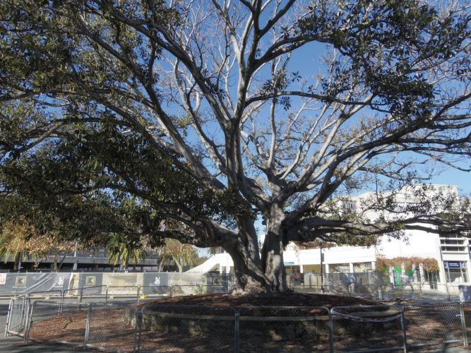 One of the ailing trees.