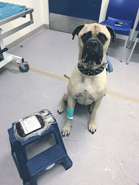 Cyrus the bullmastiff saved other dogs by being a blood donor.