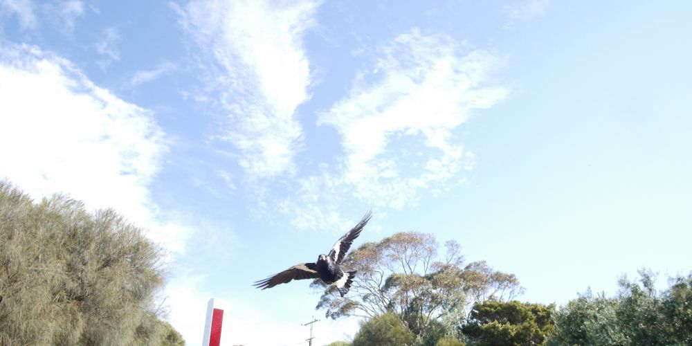 An Australian magpie swooping through the air in defence of its nest.