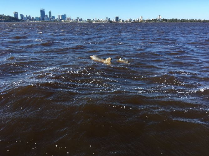 People urged to keep an eye out for Swan River dolphin entangled in fishing line