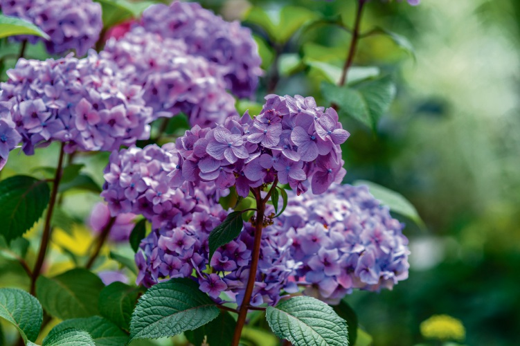 Hydrangeas contain toxins in both its leaves and flowers.