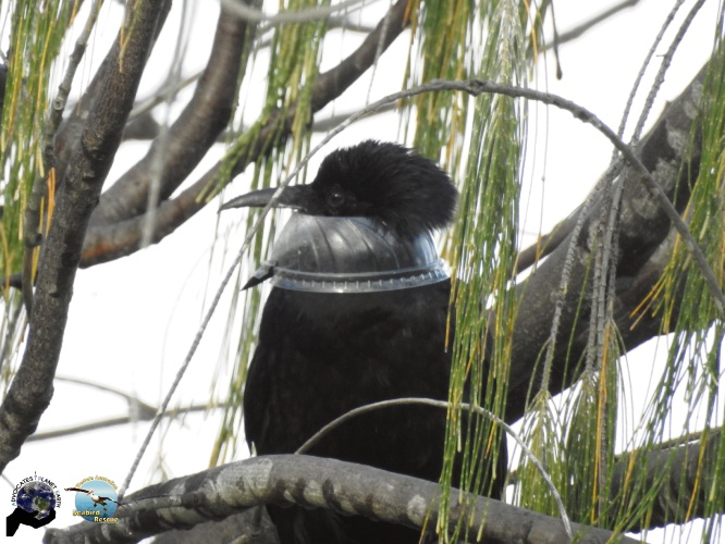 Western Australian Seabird Rescue used a net launcher to rescue the raven. Pictures: Gemma Hickey