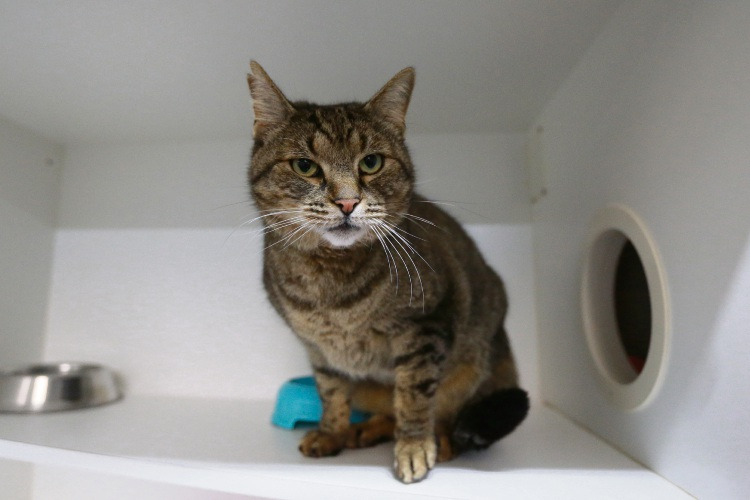 Bear from the Cat Haven, one of Western Suburbs Weekly's previous cats of the week. Picture: Andrew Ritchie