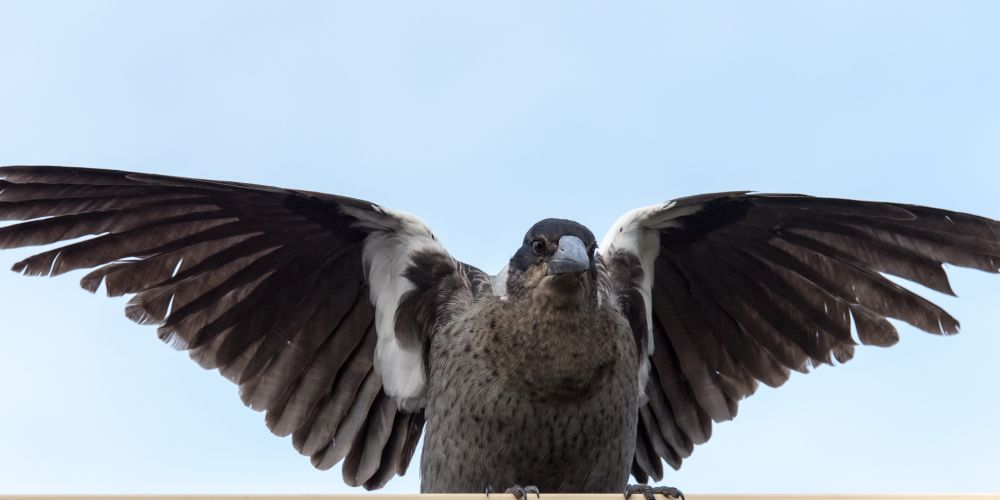 Watch out for swooping magpies during breeding season