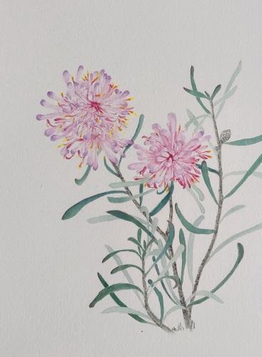 Jane Li's painting of a Petrophile linearis - Pixie mop; Kwinana's flora emblem