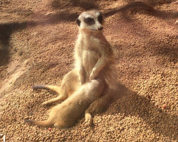 Baby meerkat returns to Perth Zoo after being stolen