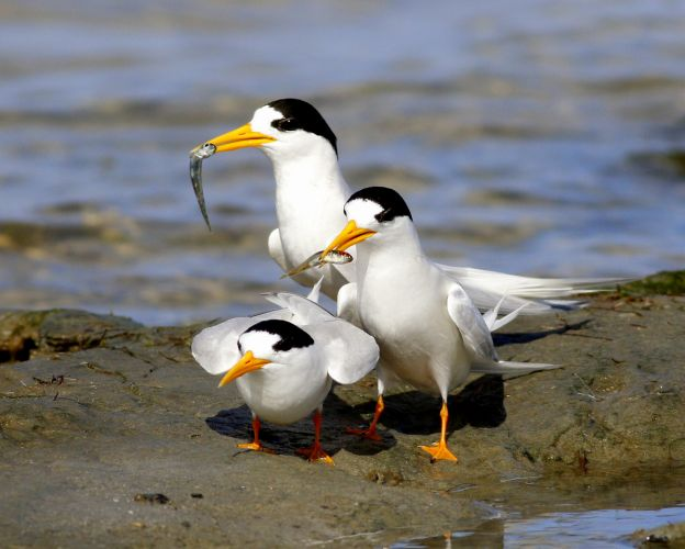 Mandurah's fairy terns have returned. Photo by Cherilyn Corker.
