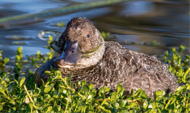 Strangled duck on South Perth Foreshore prompts 'Clean our Rivers' movement