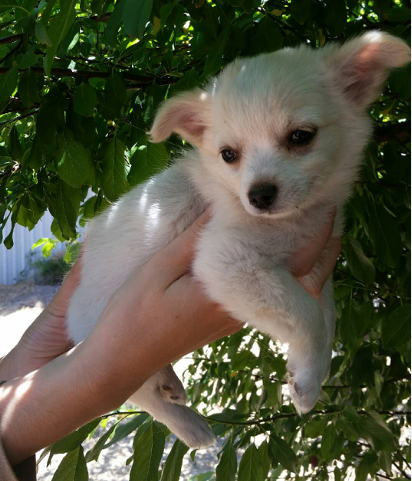 One of the puppies stolen in Beechboro. Photo: WA Police