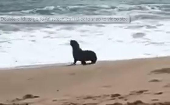 Seal delights onlookers at a Mandurah beach