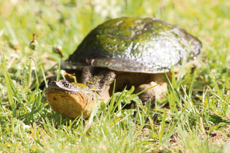 A turtle near Lake Joondalup in Wanneroo. Picture: Jarvis Eyes