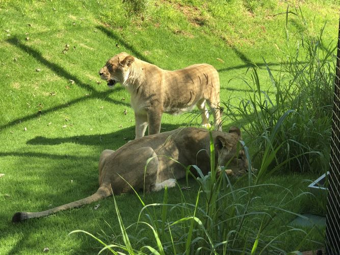 Perth Zoo's two new lionesses Uzuri and Makeba. Picture: David Johns.