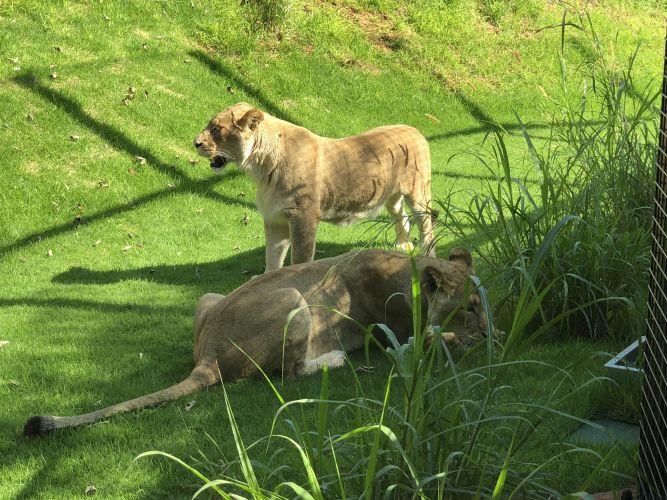 Perth Zoo's two new lionesses Uzuri and Makeba. Picture: David Johns.