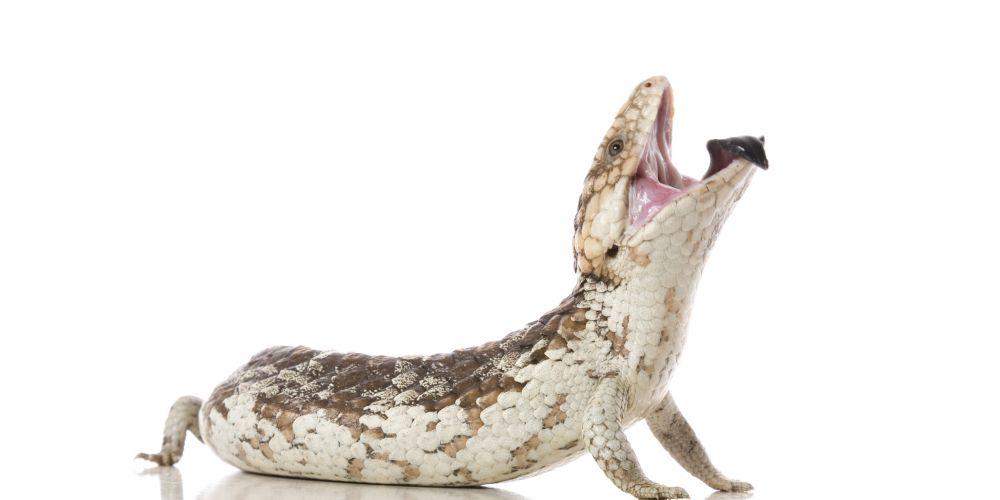 A Bobtail Lizard on white.