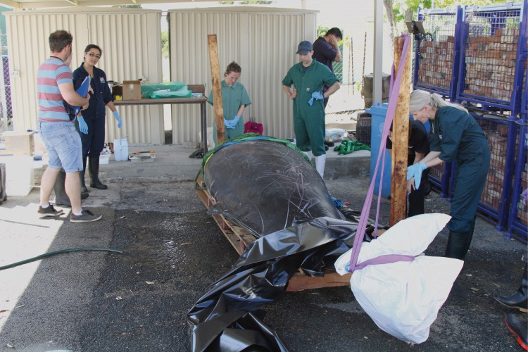 Murdoch University scientists led by Dr Nahiid Stephens examine the Andrews' beaked whale from Swanbourne Beach.
