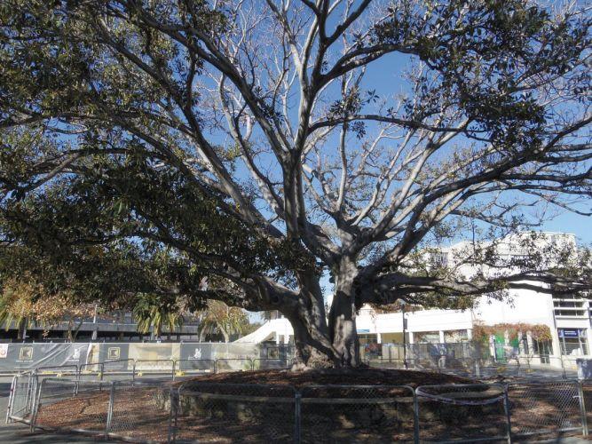 The old Moreton Bay fig in Kings Square. Photo: mysay.fremantle.wa.gov.au